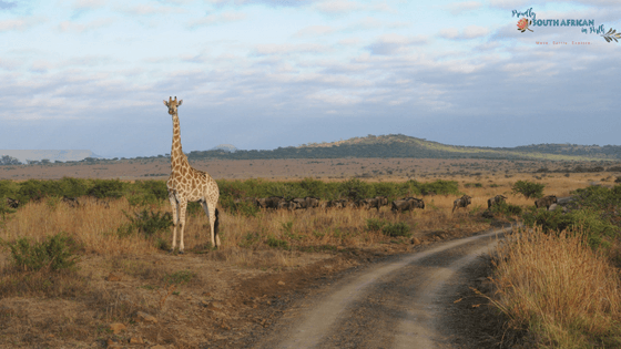 Giraffe at Nambiti Private Game Reserve - Proudly South African In Perth