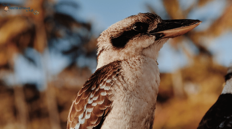 Kookaburra Sounds - Proudly South African In Perth